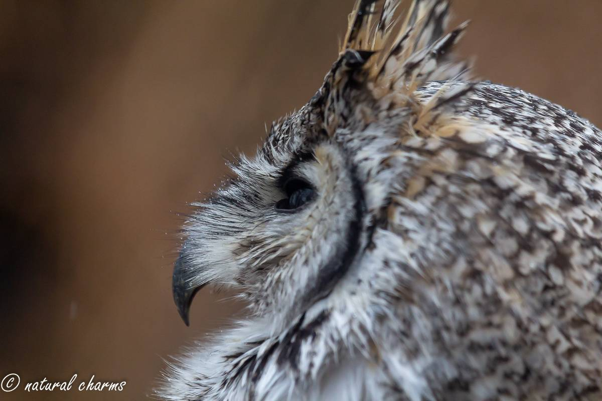 naturalcharms-fotografie-natuur-vogel-canadese oehoe-bubu bubo-canadian owl-18