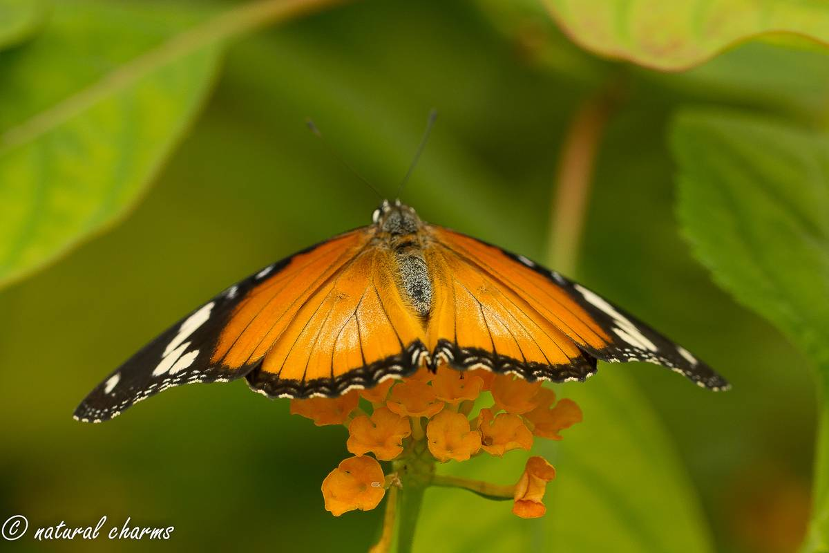 naturalcharms-natuur-fotografie-butterfly-vlinder-papiliorama-1 (2)