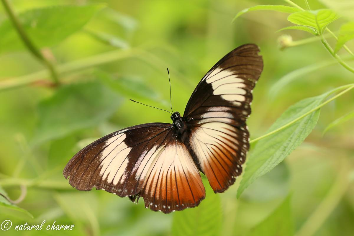 naturalcharms-natuur-fotografie-butterfly-vlinder-papiliorama-10