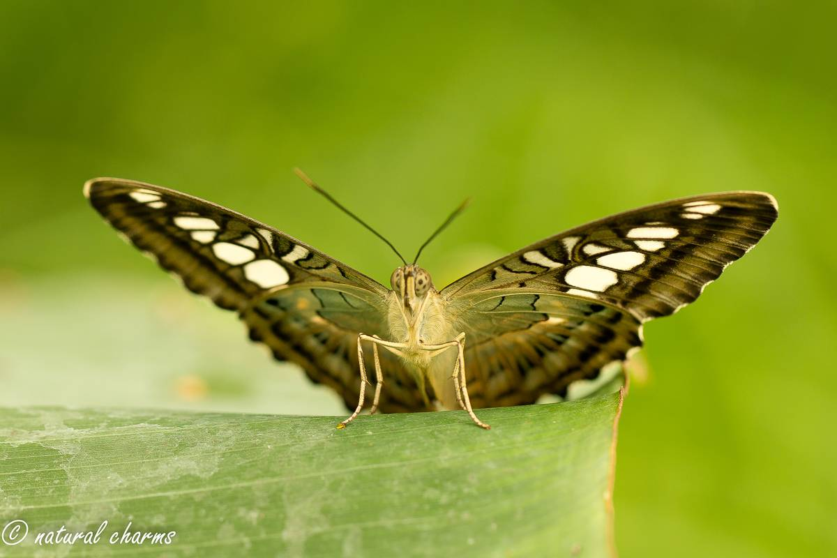 naturalcharms-natuur-fotografie-butterfly-vlinder-papiliorama-12 (2)