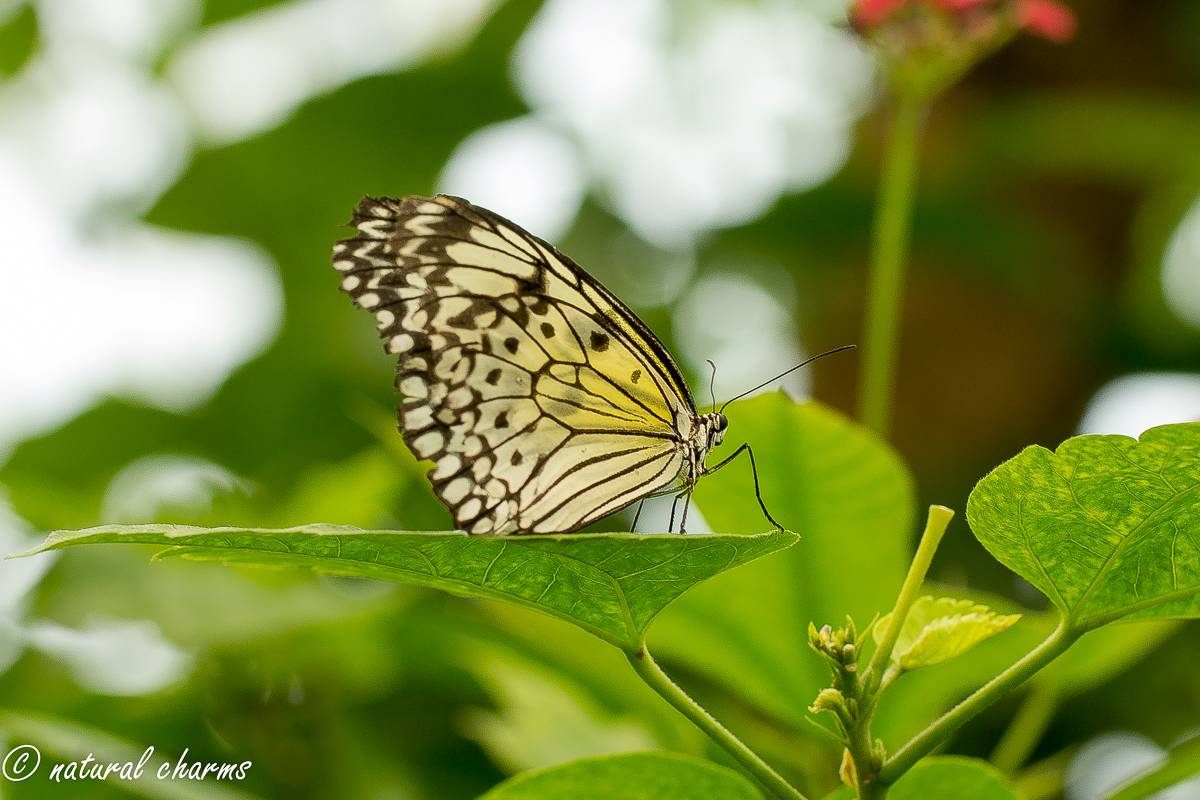 naturalcharms-natuur-fotografie-butterfly-vlinder-papiliorama-13 (2)