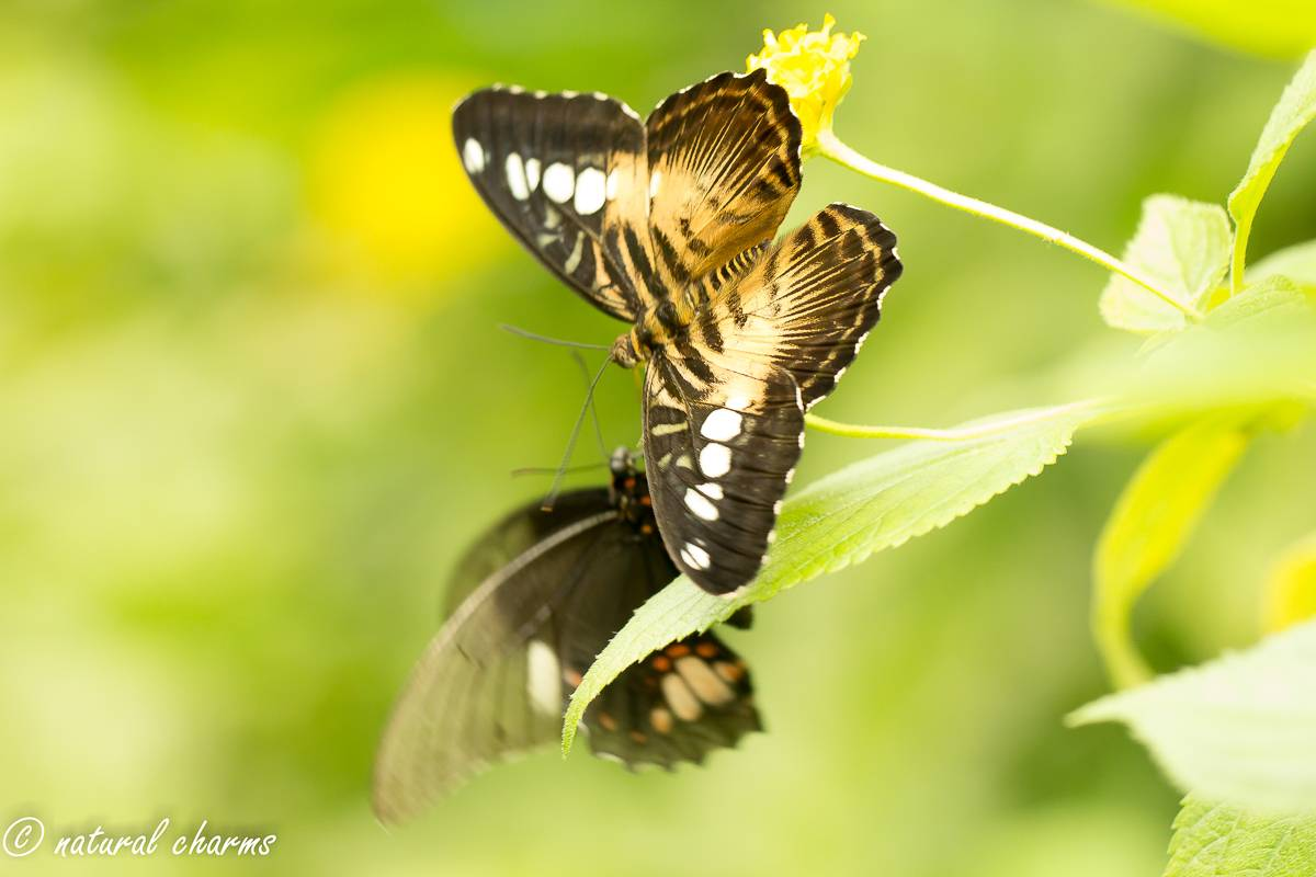 naturalcharms-natuur-fotografie-butterfly-vlinder-papiliorama-14 (2)