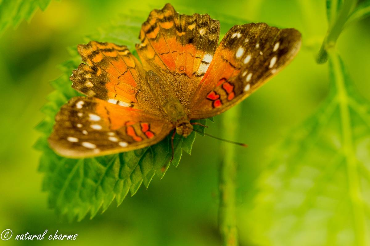 naturalcharms-natuur-fotografie-butterfly-vlinder-papiliorama-2 (2)