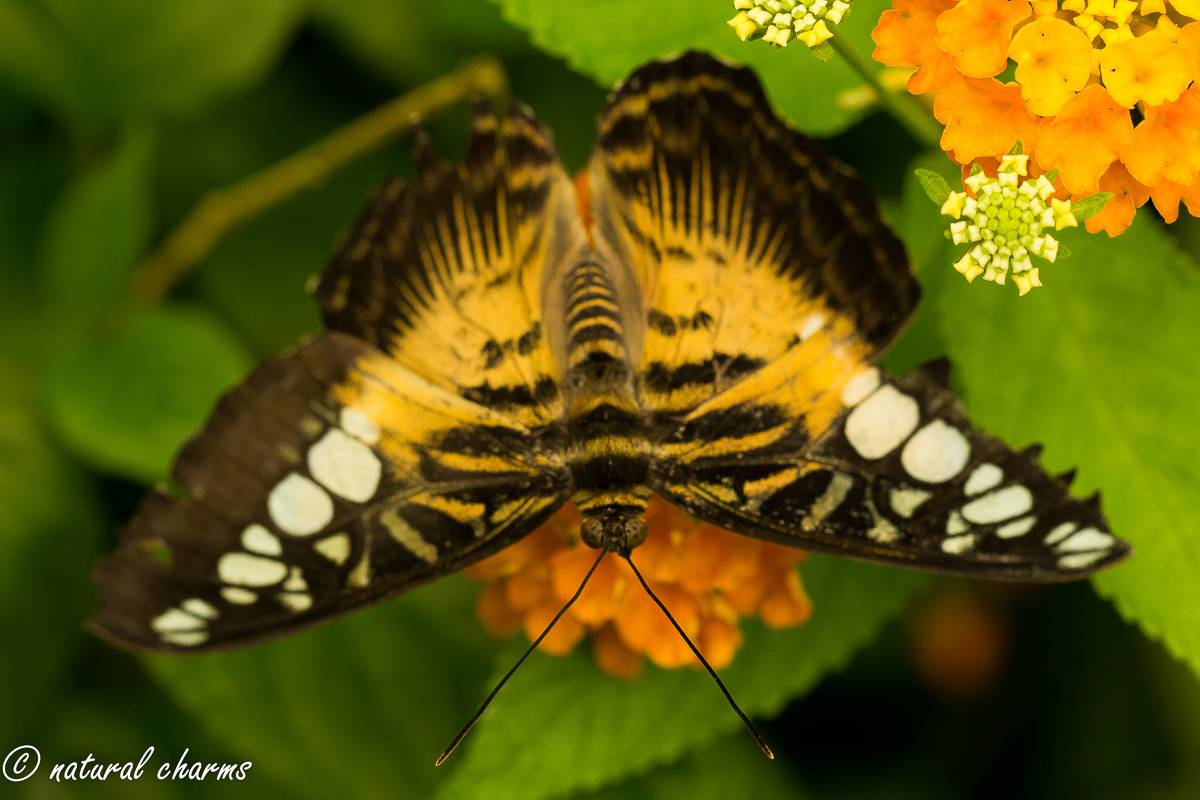 naturalcharms-natuur-fotografie-butterfly-vlinder-papiliorama-3 (2)