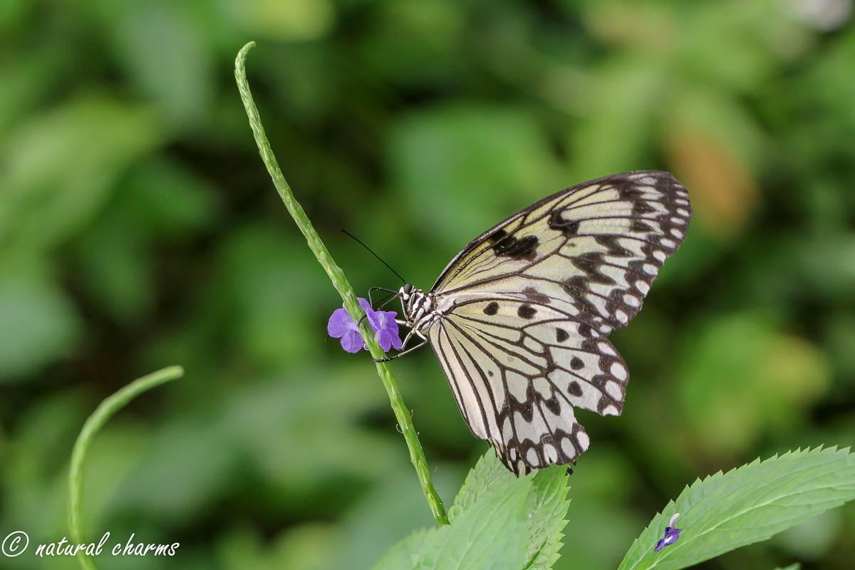 naturalcharms-natuur-fotografie-butterfly-vlinder-papiliorama-36