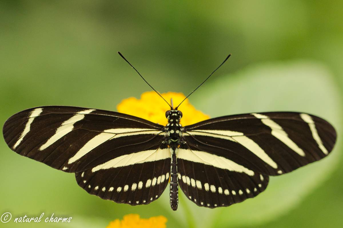 naturalcharms-natuur-fotografie-butterfly-vlinder-papiliorama-5 (2)