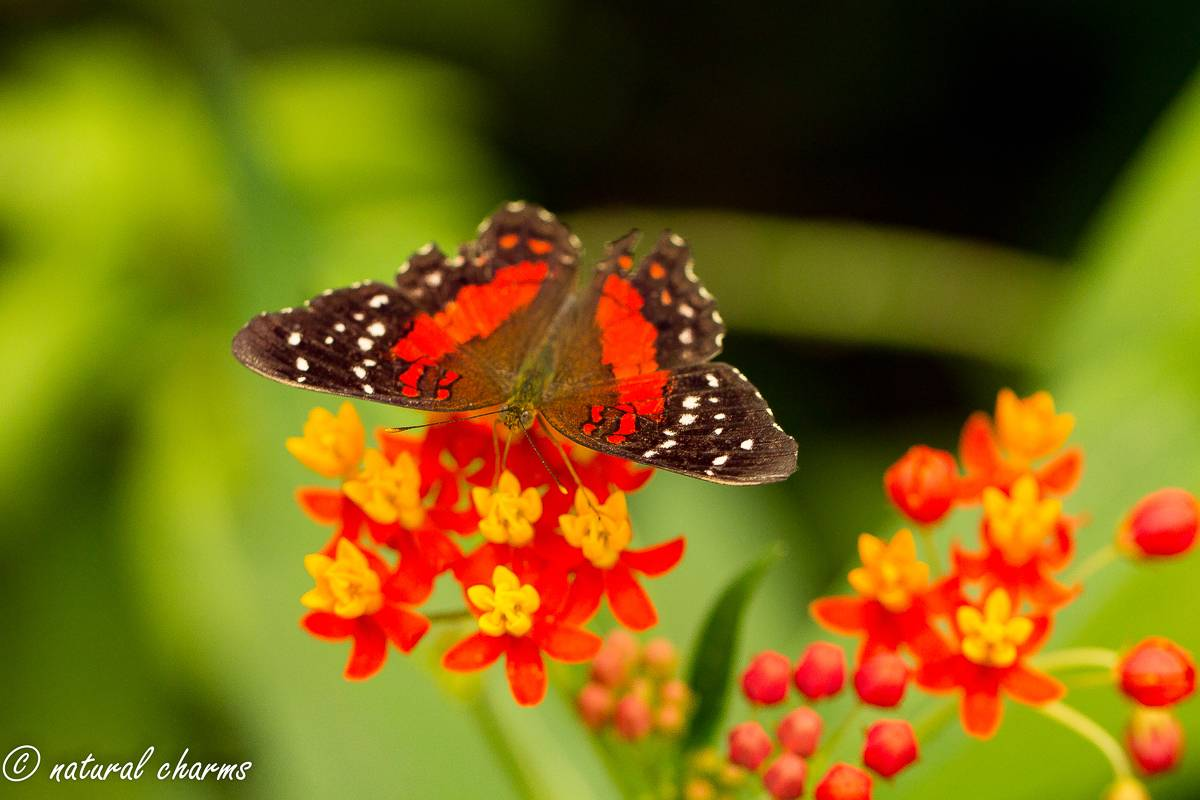 naturalcharms-natuur-fotografie-butterfly-vlinder-papiliorama-6 (2)