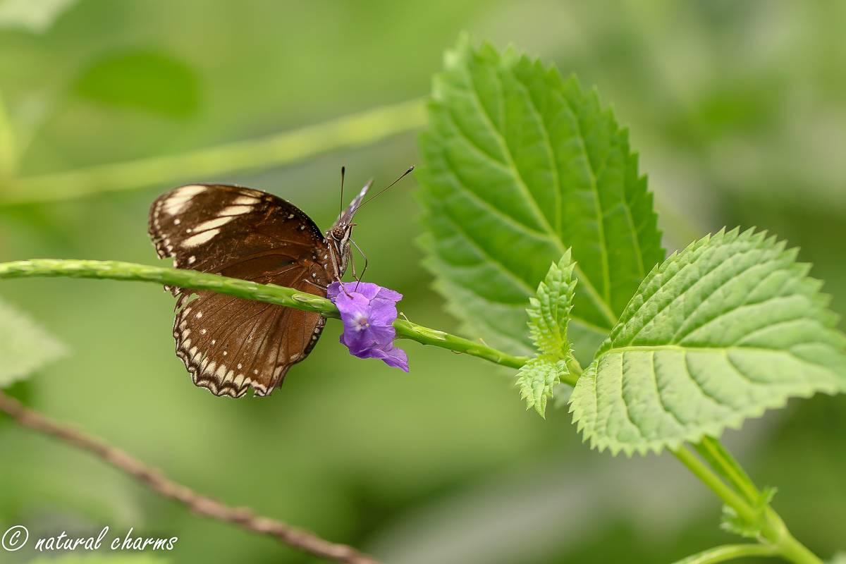 naturalcharms-natuur-fotografie-butterfly-vlinder-papiliorama-6