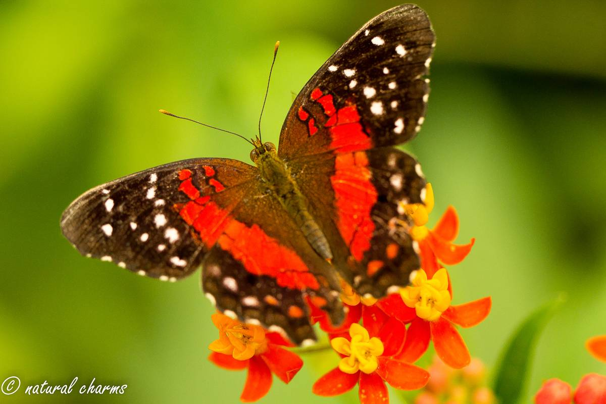 naturalcharms-natuur-fotografie-butterfly-vlinder-papiliorama-7 (2)
