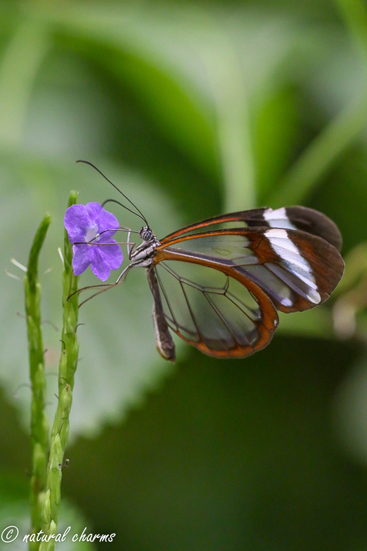 naturalcharms-natuur-fotografie-butterfly-vlinder-papiliorama-44